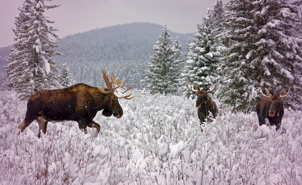 Count Moose to help Biologists